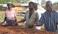 Farmers preparing cocoa for drying at Ampenkro village, Ghana