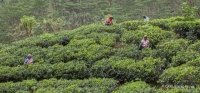 Workers on a tea plantation near Kandy, Sri Lanka