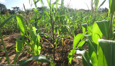 Maize field in Mozambique